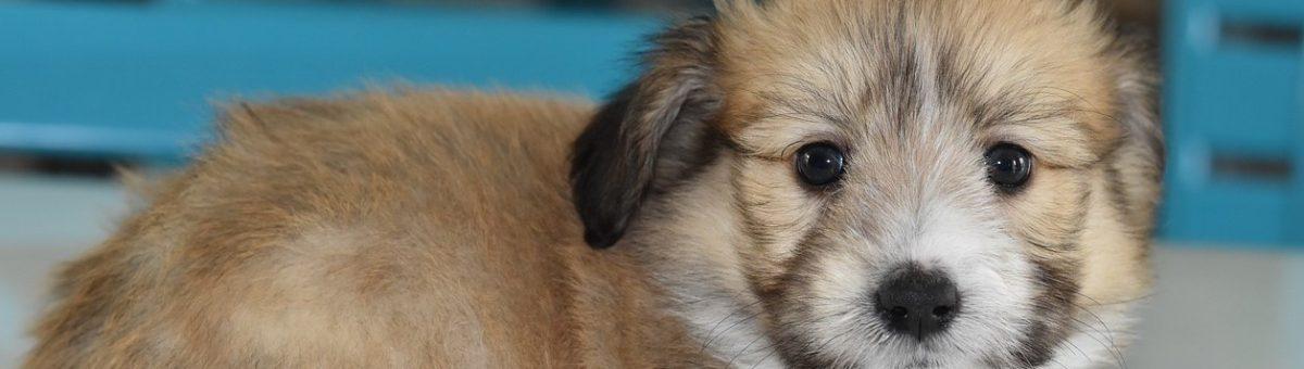 puppy-chiot